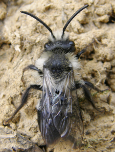 Ashy mining-bee male - Andrena cineraria identification. Photo: Steven Falk