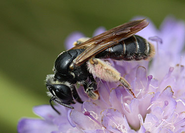Andrena hattorfiana female on common scabious by Nick Owens